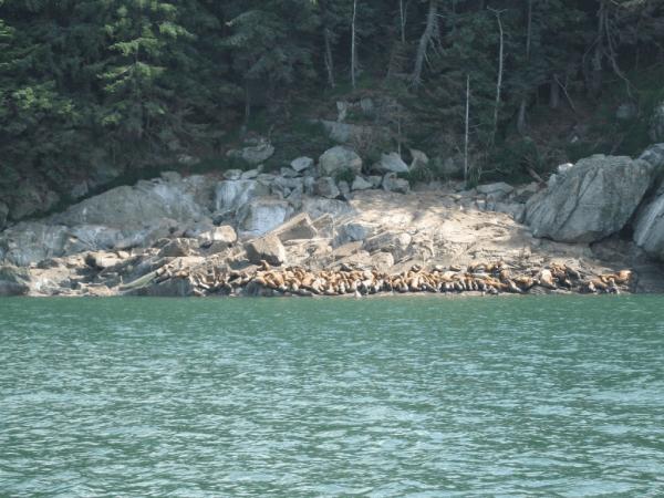 Sea Lions in Juneau, Alaska