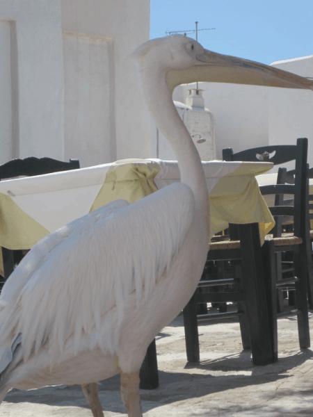 Greece-Pelican mascot - Mykonos