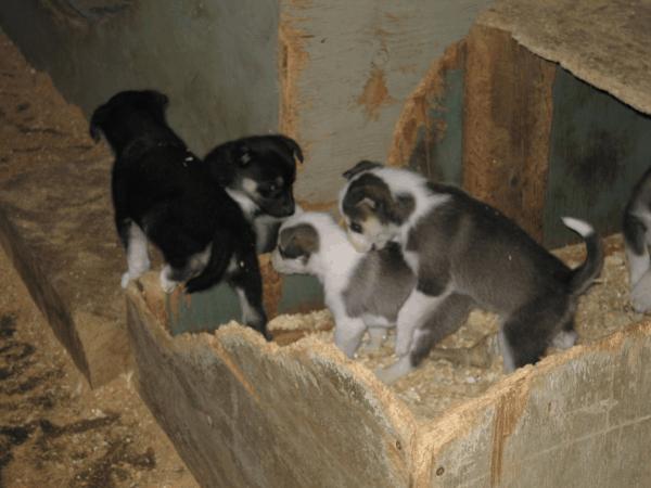 Puppies at Husky Homestead in Alaska
