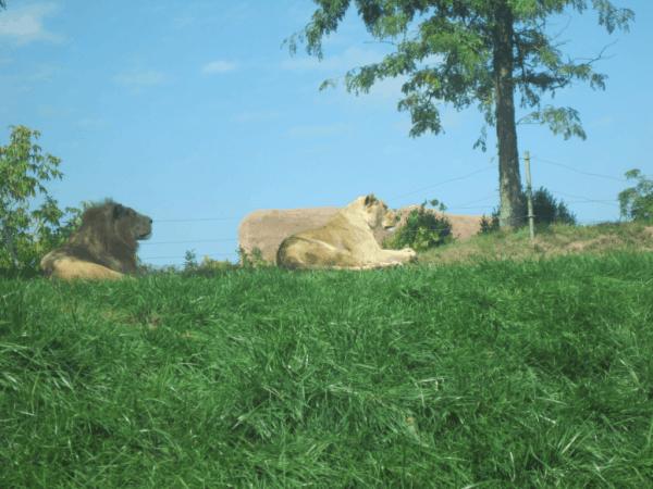 Toronto Zoo Lions