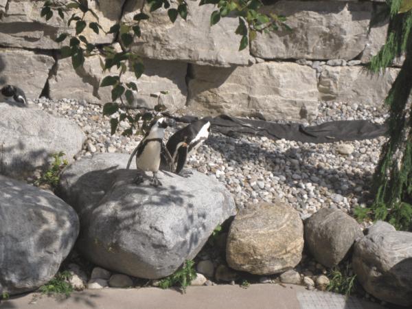Penguins at Toronto Zoo