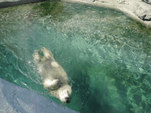 Polar Bear doing backstroke at Toronto Zoo