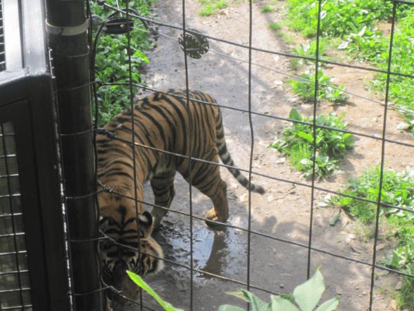 Pacing Tiger - Toronto Zoo