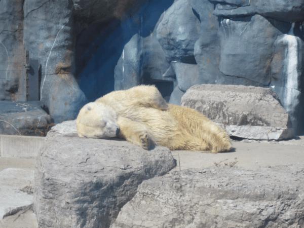 Sleeping Polar Bear at Toronto Zoo