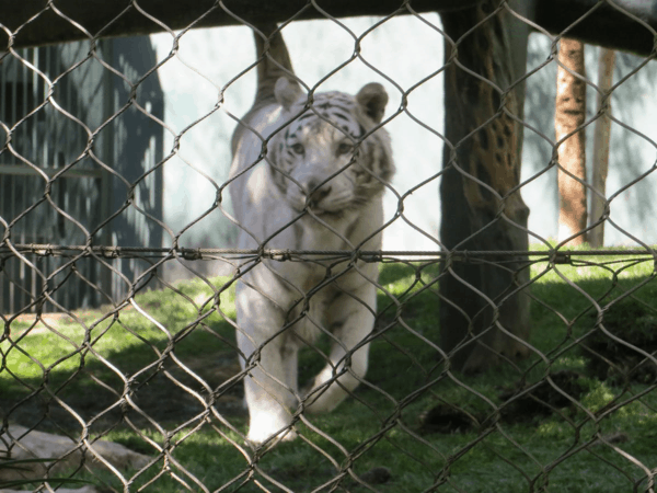 Las Vegas-A white tiger at The Secret Garden of Siegfried & Roy