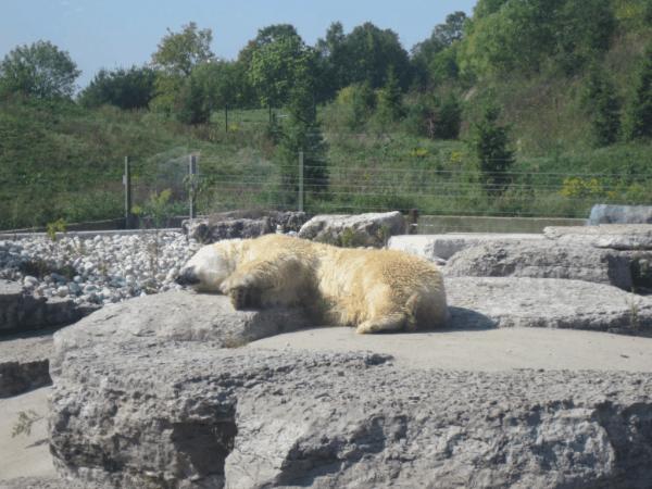 Toronto Zoo-polar bear
