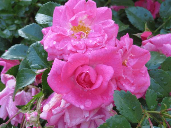 Royal Botanical Gardens-Raindrops on Roses