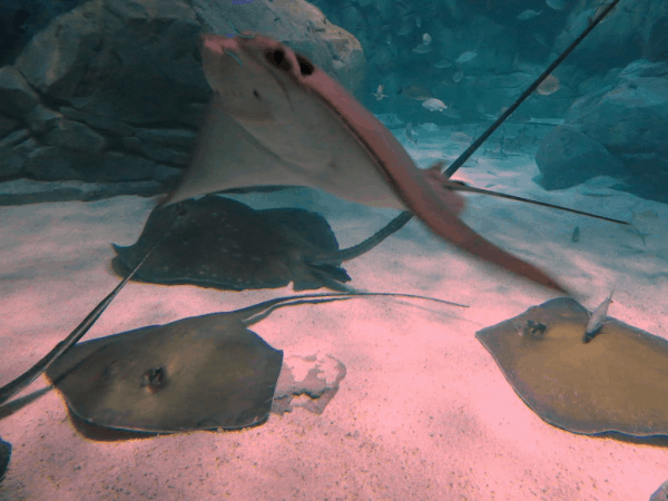 Toronto-Ripleys-Aquarium-Stingrays2
