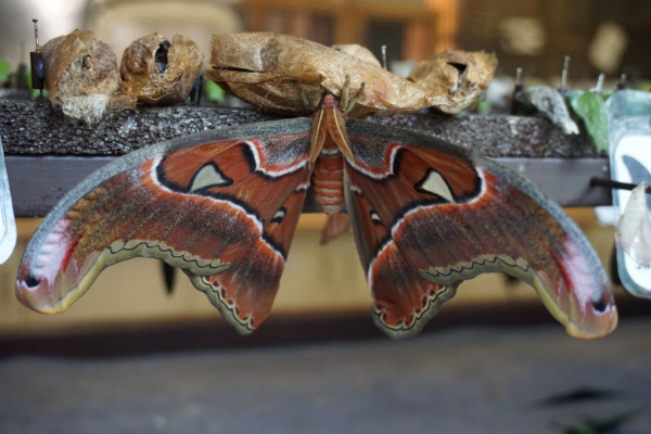 Cambridge butterfly conservatory-atlas moth emerging from cocoon