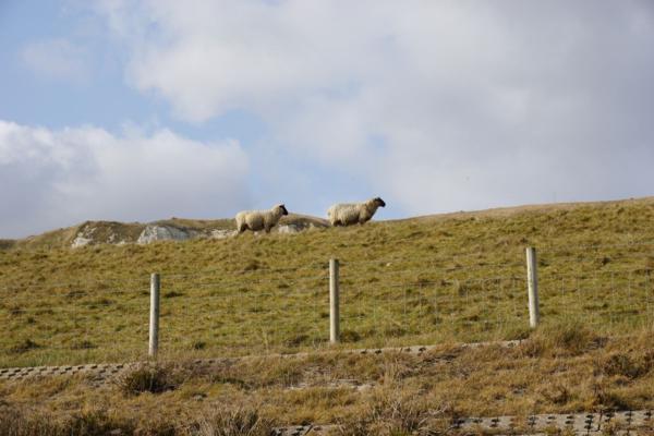 England-dover cliffs-grazing sheep