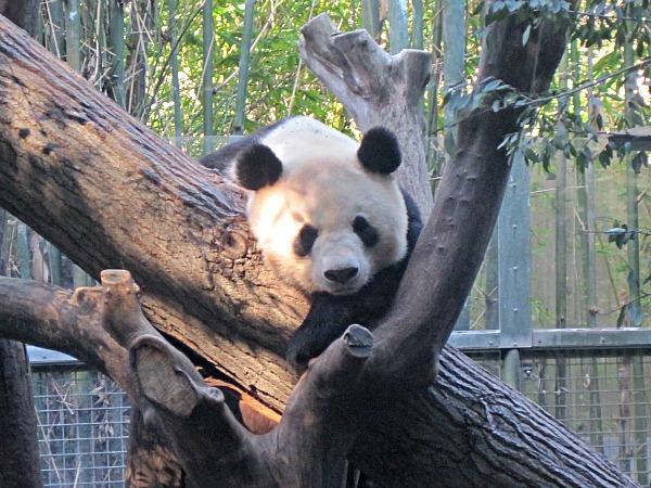 San diego zoo-panda-ed