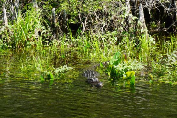 Florida-tallahassee-wakulla springs-gator in water-ed
