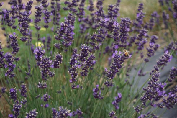 Terre bleu lavender farm-milton-canada-bee on lavender