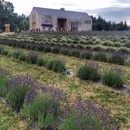 Terre bleu lavender farm-milton-ontario-canada