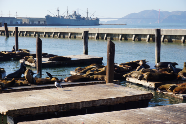 California-san francisco-pier 39-sea lions