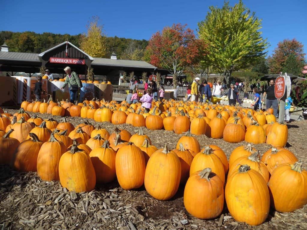 rows of pumpkins at springridge farm